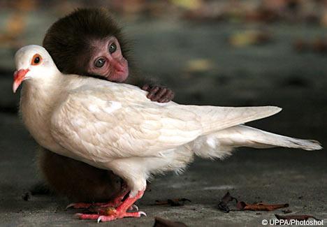 monkeypigphtsht1309_468×325.jpg